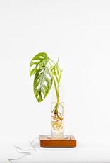 GLOWING ROOTS met plant