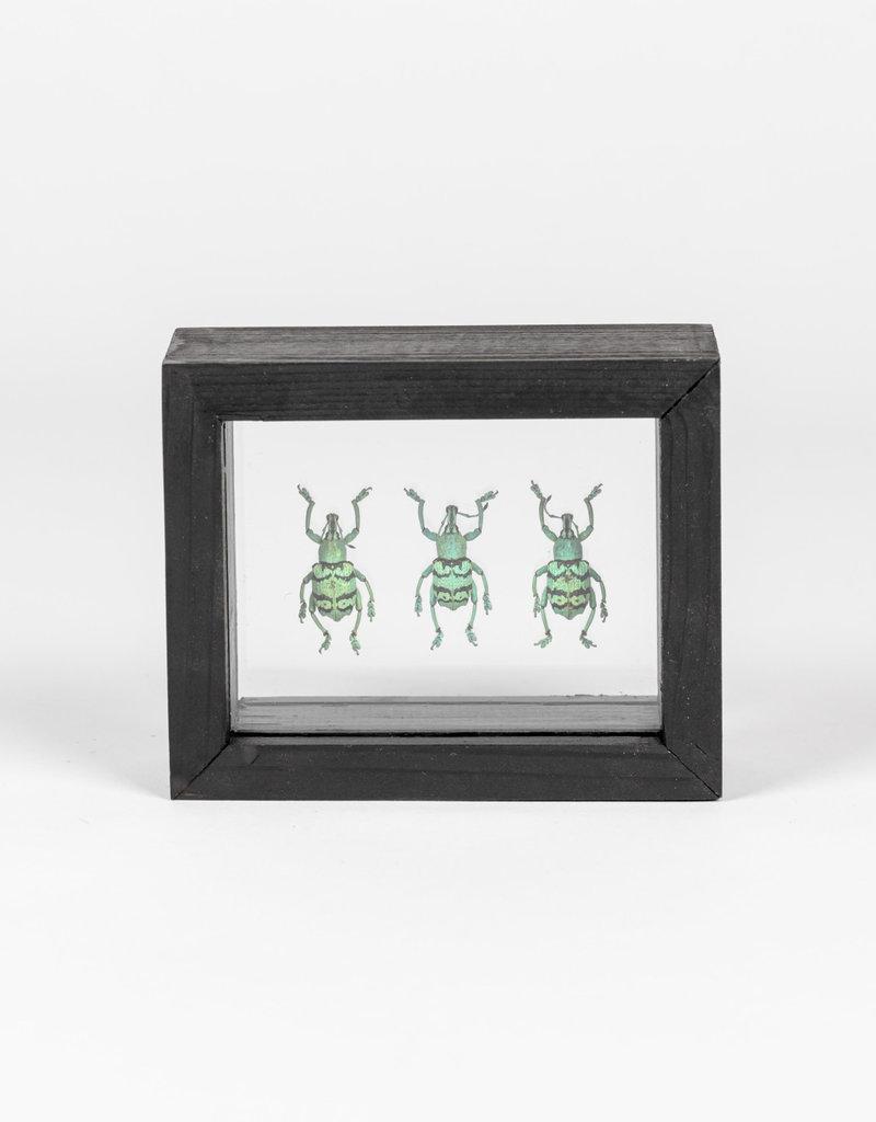 Animaux Spéciaux Dubbele glaslijst met 3 blauwe snuitkevers