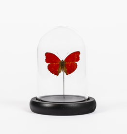 Animaux Spéciaux SMALL GLASS DOME - Red Butterfly