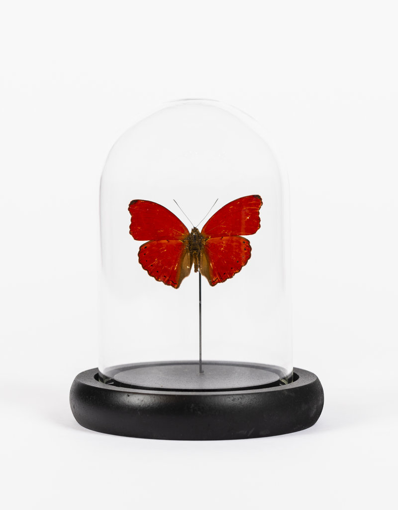 Animaux Spéciaux GLASS BELL JAR - Red Butterfly