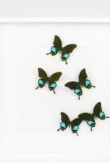 Papilio Blumei x 5 - Moderne, witte kader