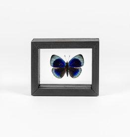 Animaux Spéciaux Dubbele glaslijst met een blauwe vlinder