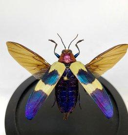 Animaux Spéciaux GLASS BELL JAR - Flying Chrysochroa Buqueti Rugicollis