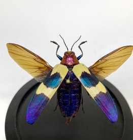Animaux Spéciaux SMALL GLASS DOME - Flying Chrysochroa Buqueti Rugicollis