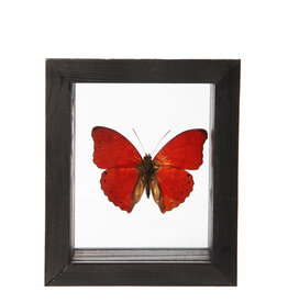Animaux Spéciaux DUBBELE GLASLIJST - Rode Vlinder