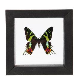 Animaux Spéciaux DOUBLE GLASS FRAME - Sunset Moth