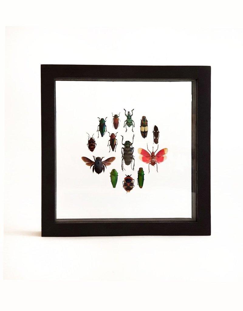 Animaux Spéciaux DUBBELE GLASLIJST - Around The Beetles