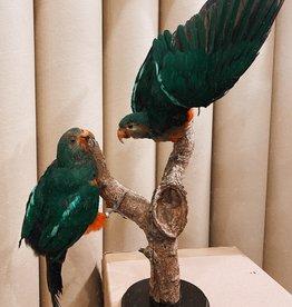 Animaux Spéciaux Couple King Parrot