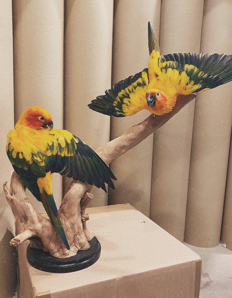 Animaux Spéciaux Couple Sun Parakeet