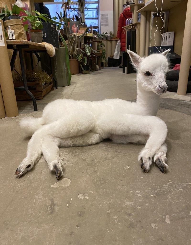 Animaux Spéciaux Alpaca: alpino