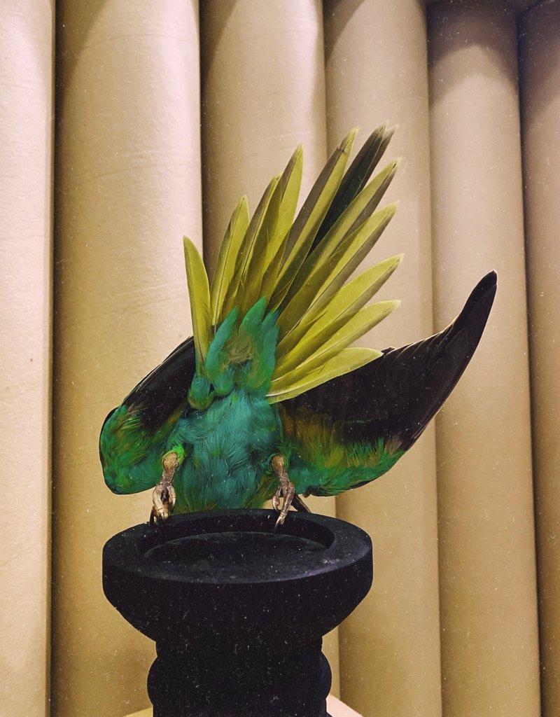 Animaux Spéciaux Rose-Ringed Parakeet