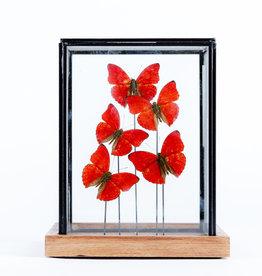 Animaux Spéciaux Vitrinekist met rode vlinders