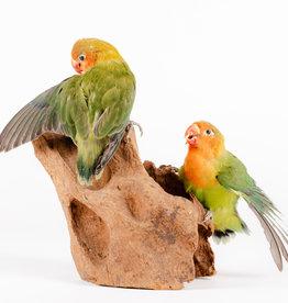 Animaux Spéciaux Lovebirds