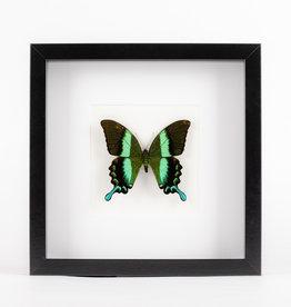 Animaux Spéciaux MODERN FRAME - Papilio BIumei