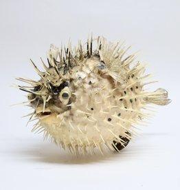Animaux Spéciaux Pufferfish