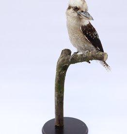 Animaux Spéciaux Kookaburra
