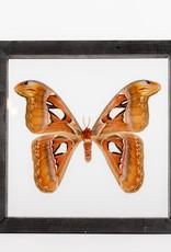 Animaux Spéciaux Double Glass Frame (23x23cm) - Attacus atlas