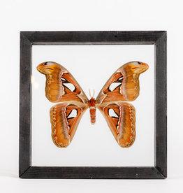 Animaux Spéciaux Cadre en verre (23x23cm) - Attacus atlas