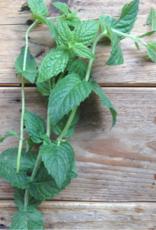 Piccolo Marokaanse munt - Mentha spicata