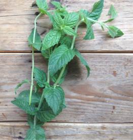 Menthe verte Marocaine - Mentha spicata