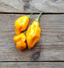 Citoen geel Habanero pikante peper- Capsicum chinense
