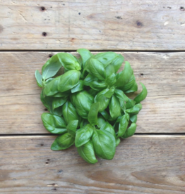 Piccolo Basil Genovese - Ocimum basilicum