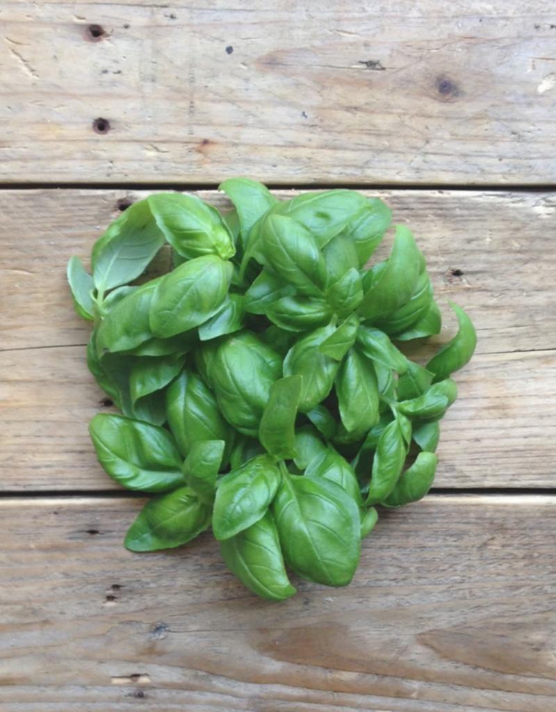Basil Genovese - Ocimum basilicum