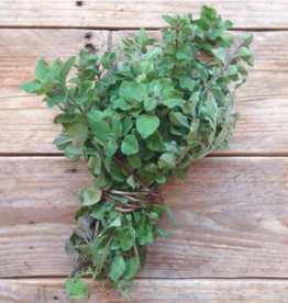 Greek oregano - Origanum vulgare