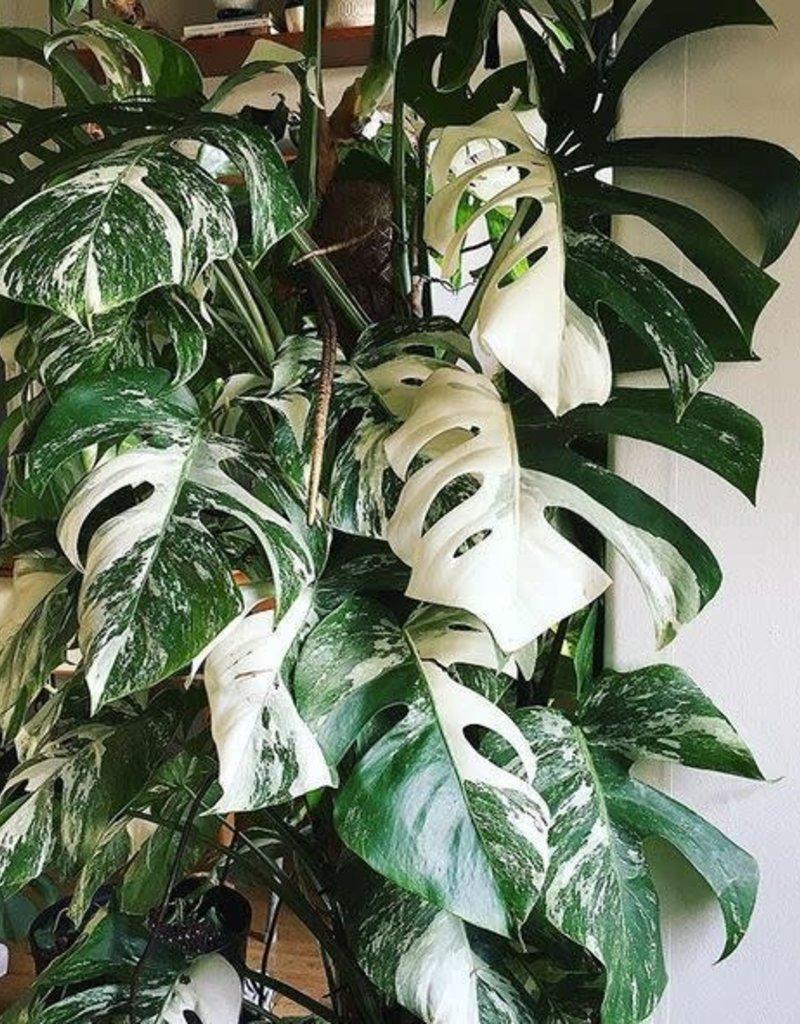 Animaux Spéciaux Botanical Wonders Monstera deliciosa variegata