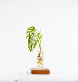 Animaux Spéciaux Lampje Glowing Roots