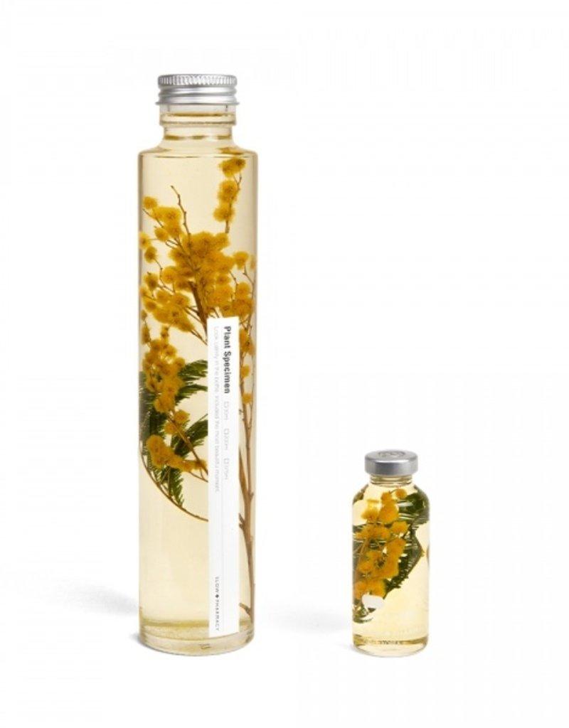 PLANT SPECIMEN - Mimosa (Acacia dealbata)
