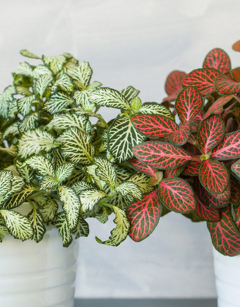 Animaux Spéciaux Botanical Wonders FITTONIA