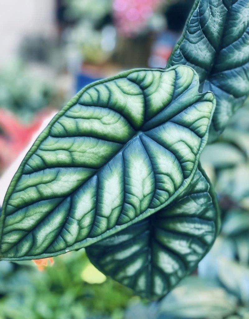 Animaux Spéciaux Botanical Wonders ZELDZAME PLANT - ALOCASIA DRAGON SCALE
