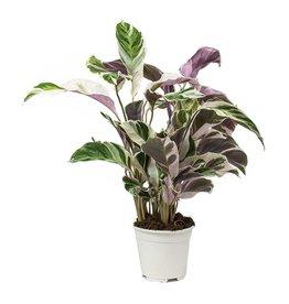Animaux Spéciaux Botanical Wonders ZELDZAME PLANT - CALATHEA FUSION WHITE variegata