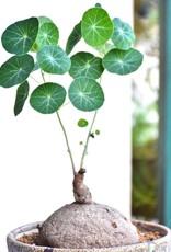 Animaux Spéciaux Botanical Wonders RARE PLANT - STEPHANIE ERECTA