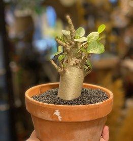 Animaux Spéciaux Botanical Wonders ZELDZAME PLANT - Adenium Baobab