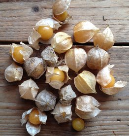GOUDBES Kaapse goudbes - Physalis peruviana
