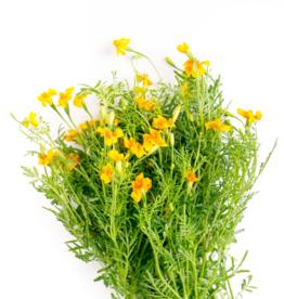 STERAFRIKAANTJE - Tagetes tenuifolia