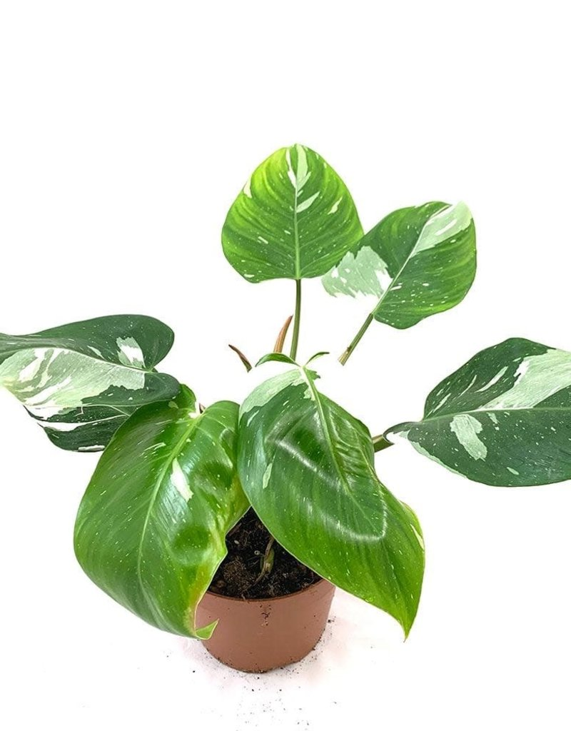 Animaux Spéciaux Botanical Wonders PHILODENDRON WHITE PRINCESS