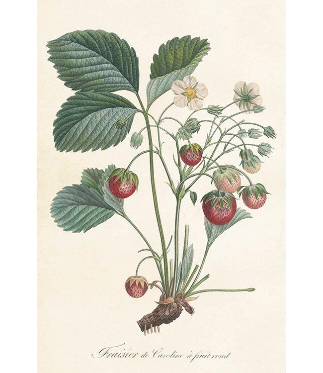 Sköna Ting Erdbeerpflanze