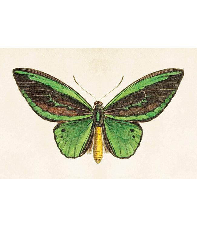 Sköna Ting Schmetterling