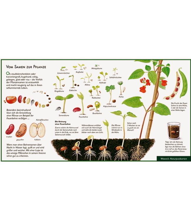 Natur-Verlag Wawra Vom Samen zur Pflanze