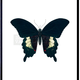 VanillaFly VanillaFly Poster Black Butterfly 20x25