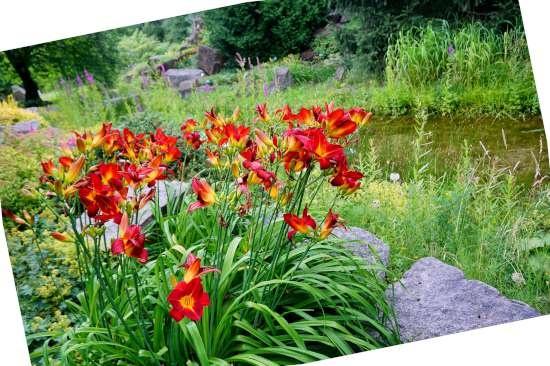 Daglelie (Hemerocallis) is een plant geschikt voor kleigrond