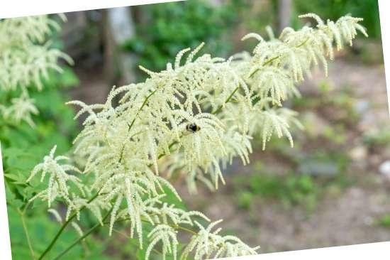 de geitenbaard (Aruncus dioicus) is een plant geschikt voor kleigrond