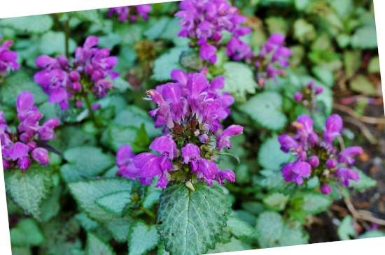 Dovenetel (Lamium) is een plant geschikt voor kleigrond