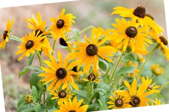 Gele zonnehoed (Rudbeckia) is een plant geschikt voor kleigrond