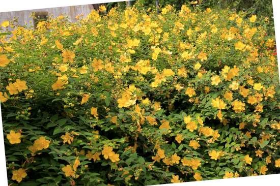 Goudaardbei (Waldsteinia) is een plant geschikt voor kleigrond