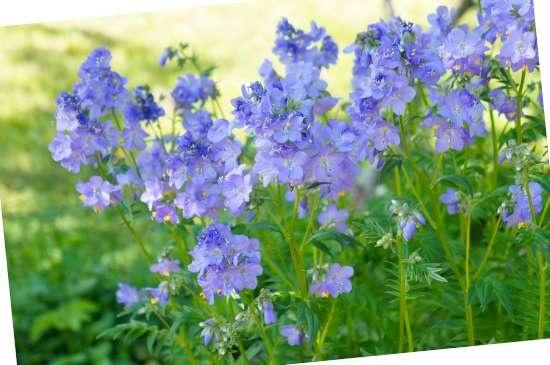 Jacobsladder (Polemonium) is een plant geschikt voor kleigrond