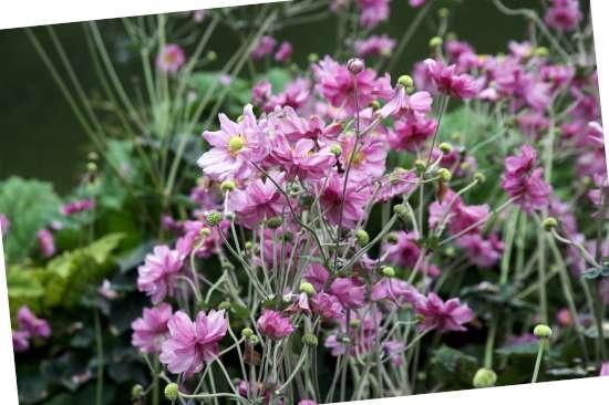 Japanse anemoon is een plant geschikt voor kleigrond